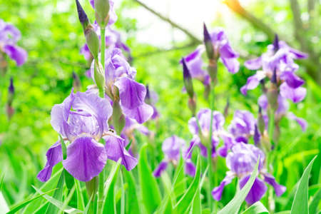 many irises and purple colours, sort Carl and Sissy