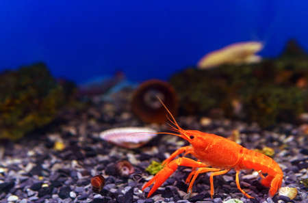 Pet of a beautiful red in freshwater lobster. in the aquarium. selective focus