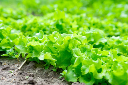 green salad plants. Agricultural field with green lettuce leaves in a vegetable field.