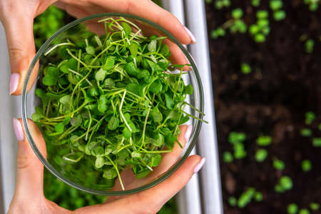 Fresh micro greens girl holding a bowl of salad. Growing sprouts for healthy salad. restaurant cuisine concept, healthy food, diet