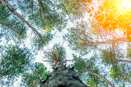 forest, pinery, pine forest, Pine Tree, Fairy Forest untouched spruce forest 免版税图像
