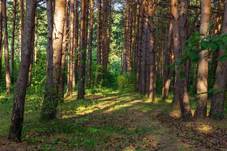 green forest in summer. Golden rays of the sun through the tall trunks of trees