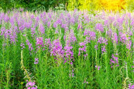nature background with purple flowers. blossom lilac flowers Ivan-tea, kiprei epilobium 免版税图像