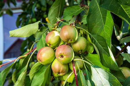 fresh and juicy apples ready for harvest in the apple plantation. close up selective focus