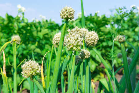 Growing onions during ripening in the form of green feathers in the garden. organic farm 免版税图像 - 151880630