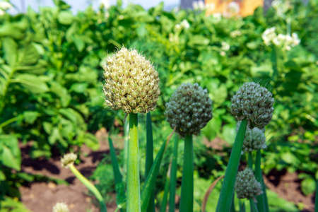 onion close-up. Green onions growing on a bed in the soil. growing vegetables on an organic farm 免版税图像 - 151880631