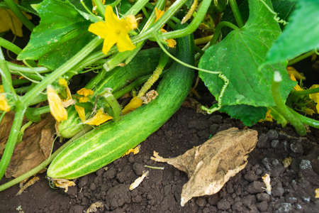 Young cucumber plants with yellow flowers. organic flower and green leaves.