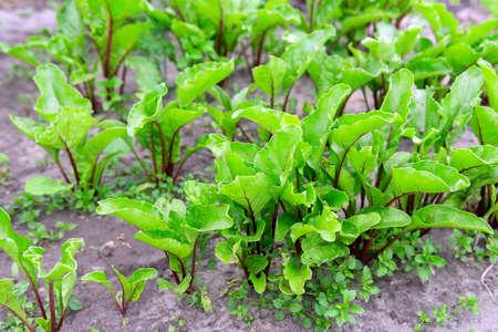 Fresh organic leafy green vegetable beet leaves, ready for harvest.