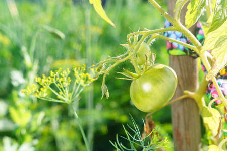 tomato plant growing. Fresh bunch natural tomatoes on a branch in organic vegetable garden. Blurry background and copy space