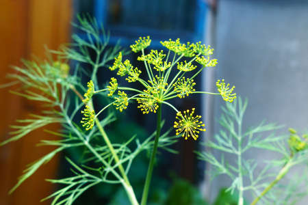 stems and umbel inflorescences with tiny yellow flowers of flowering dill on a field, close-up in selective focus, background 免版税图像 - 151881970