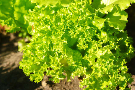 Fresh salad leave in the Organic farm, selective focus, Young bright green lettuce salad growing. 免版税图像 - 151857973