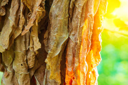 tobacco leaf under sun. Cigarette ingredient or raw material. Fermentation of tobacco 免版税图像 - 151858423