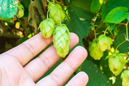 Farmer holds half grown hop plant at field. Hops are main ingredients in Beer production.