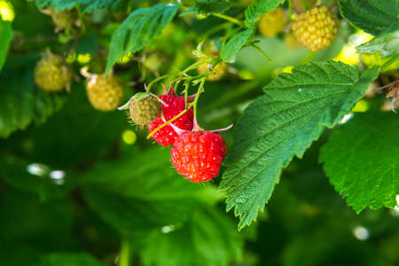 red raspberry berries hang on the branches. close-up on a natural background 免版税图像 - 151858534