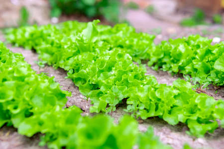 Fresh salad leave in the Organic farm, selective focus, Young bright green lettuce salad growing. 免版税图像 - 151859336