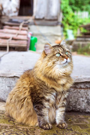 siberian cat with green eyes. Copy space, close up, background. Adorable domestic pet concept. 版權商用圖片