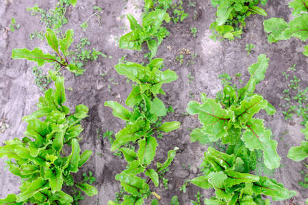 Beets in natural conditions. Beta vulgaris. Garden, field, farm Organic vegetables growing