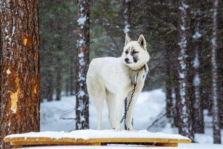white dog Laika in winter on a chain in a heavy snowfall. Siberia taiga