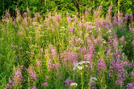 Pink fireweed ivan tea in summer. growing in the nature meadow. 写真素材