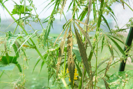 hemp plants in the fields before harvesting, picking a seed, close up. selective focus 写真素材