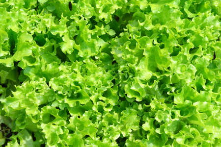 Organic seedling or sapling lettuces in the field, lettuce cultivation, green leaves, close-up selective focus