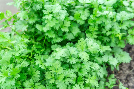 Coriander plant leaf growing in the garden. Green coriander leaves vegetable for food ingredients