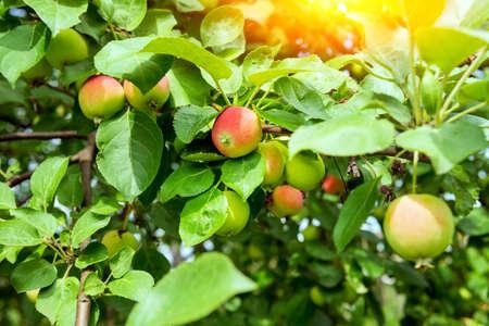 Fruit trees with harvest ripe red apples summer season. organic fruit harvest 免版税图像