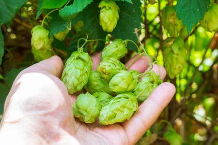 hops in the farmer hand. used for brewing beer. growing hop crop 版權商用圖片
