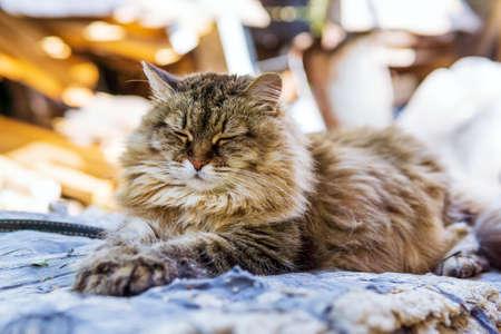 fluffy cat lies in the sun. selective focus. pet. portrait