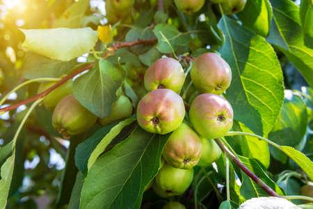 Apple home garden fruitful trees. Gardening. Juicy healthy fruit. Tasty, healthy