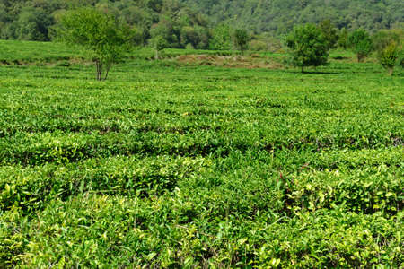 Scene of plantation on tea. Tea leaves on brushes in foreground. selective focus