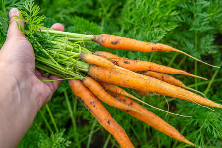 harvest of fresh young carrots in the hands of a farmer. bright Sunny day organic vegetables