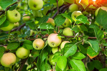 green, red apples on a tree branch are ready for harvesting. the harvest is ripe and organic fruits Imagens