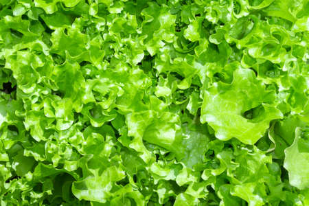 Green Lettuce leaves on garden beds in the vegetable field. Gardening green Salad plants in the open ground. Imagens