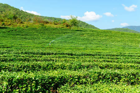 tea plantation landscape, tourist attraction in Russia, Krasnodar Krai Sochi