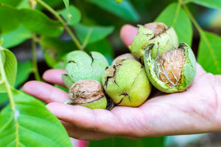 walnuts in hand on a background of wood with walnuts. Home Gardening Concept
