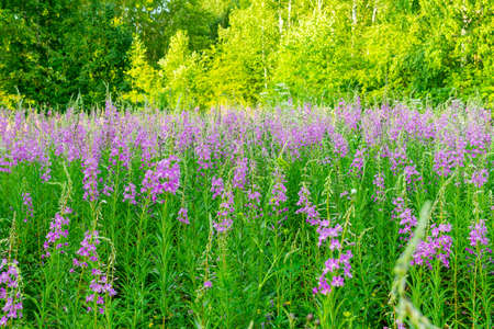 Pink fireweed ivan tea in summer. growing in the nature meadow. Imagens