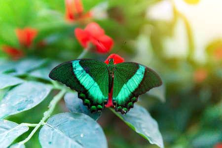 Papilio palinurus, the emerald swallowtail, emerald peacock Papilio belonging to the Papilionidae family