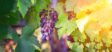 ripe purple grapes in the vineyard. harvest ripe fruit. utumn harvest. Ripe grapes in fall season