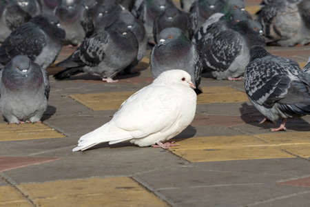 White pigeon among ordinary gray pigeons. not like everyone else. selective focus