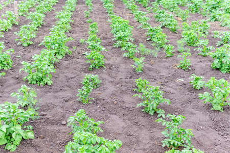 potato plantations grow in the field. agriculture, agriculture. growing vegetables, selective focus, farm 免版税图像