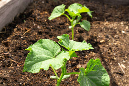 green leaves of a cucumber sprout. Cultivation of organic vegetables in the home garden.