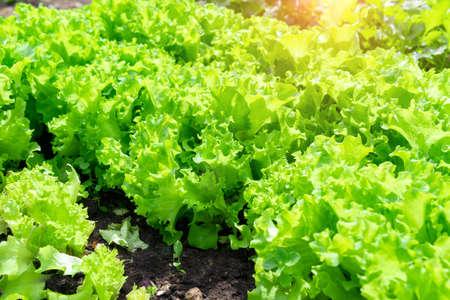 green leaf lettuce plant cultivation on organic farm, organic vegetables. selective focus