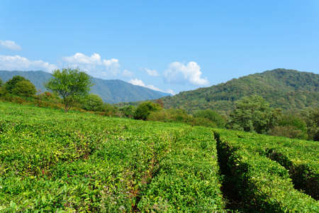 Panoramic view of a mountain tea plantation with blue sky on background