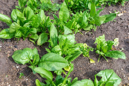 Spinach growing in garden. Fresh natural leaves of spinach growing Bio spanach. 免版税图像