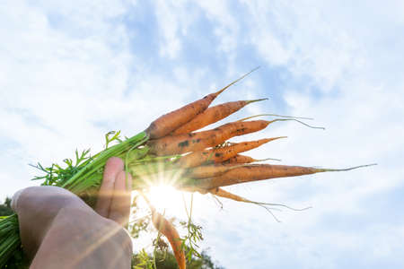 gardener holding in her hands freshly picked dirty carrot. Concept of organic products, farming, clean bio food. Selective focus 免版税图像