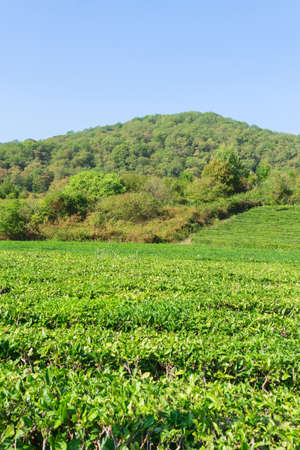 leaves of tea from green bushes high in the mountains. Tea Valley tea production.