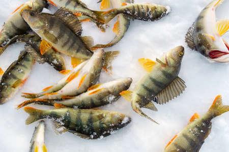 perch fish lying on the snow. winter fishing catch. Perca fluviatilis Archivio Fotografico