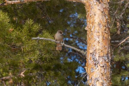 Eurasian jay, Garrul glandarius. A young bird sits on a thick branch of a tree. Wildlife. Archivio Fotografico