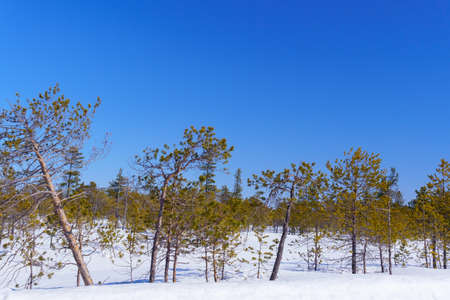 small trees in the snow in the taiga. travel space for copying text